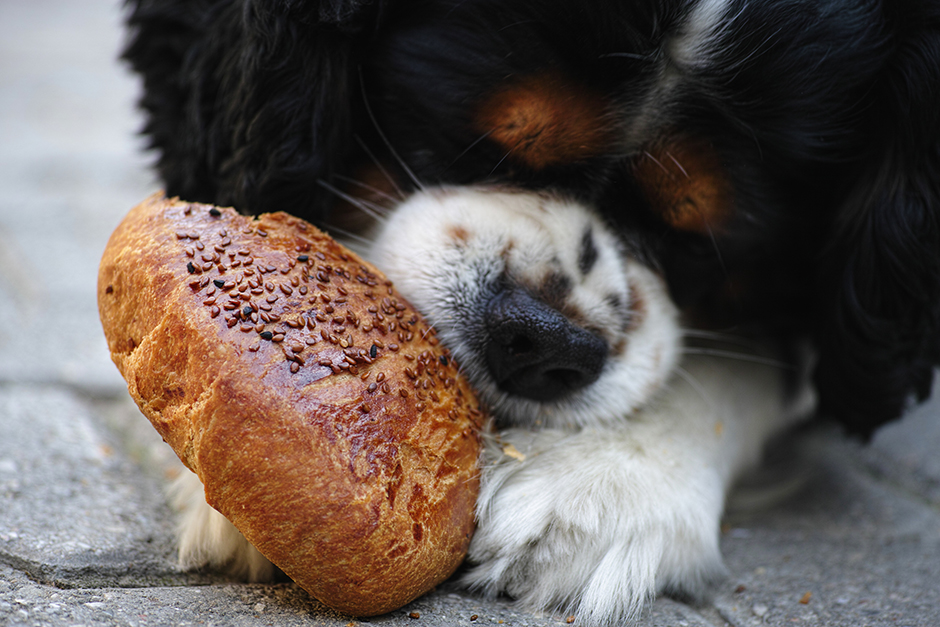 สุนัขกินอาหารเร็วเกินไป ภัยเงียบที่อาจฆ่าลูกรักของคุณ!