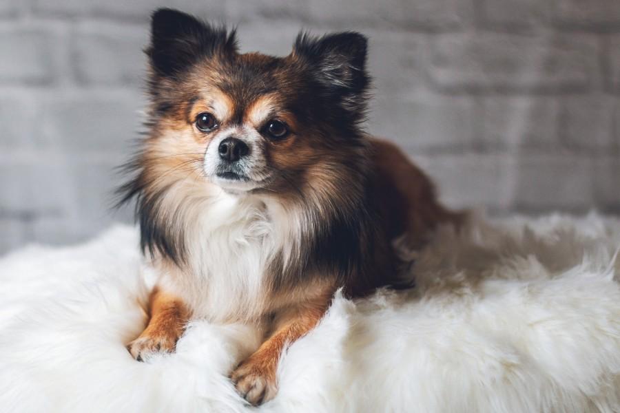 สุนัขที่มีขนาดเล็กที่สุด_chihuahua