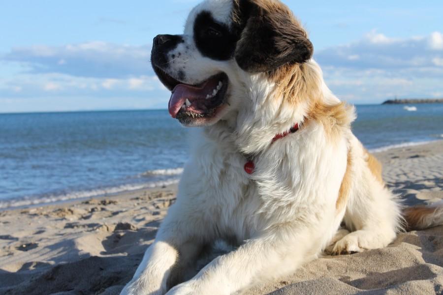 สุนัขที่มีขนาดใหญ่ที่สุดในโลก_SaintBernard
