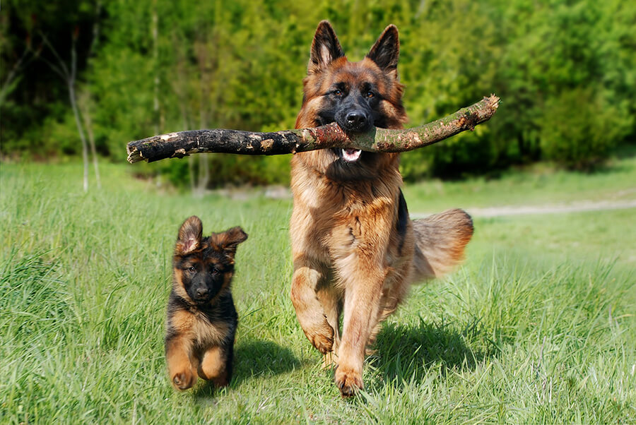 schafer-dog-4357790_1920