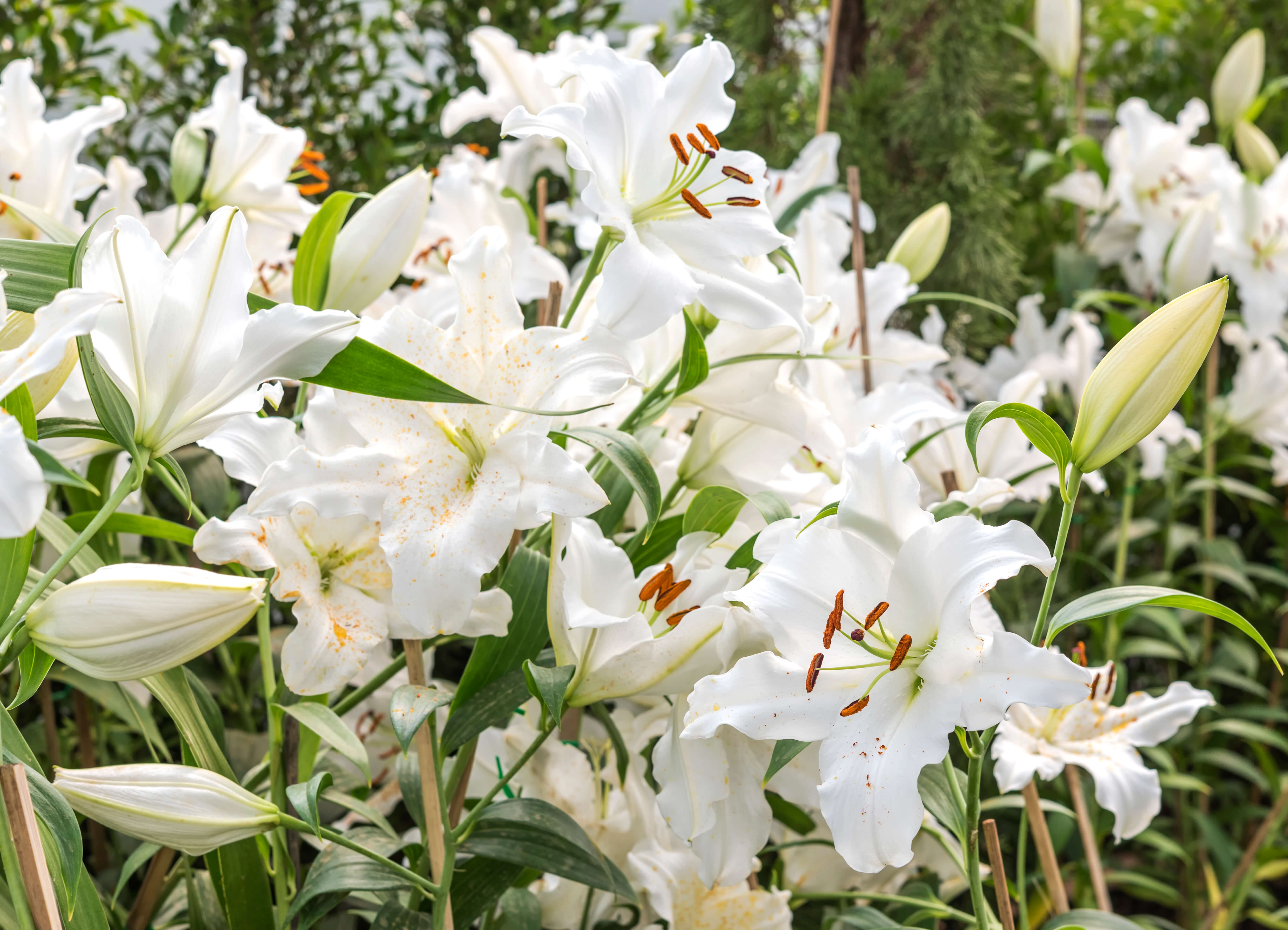 White lily in garden field