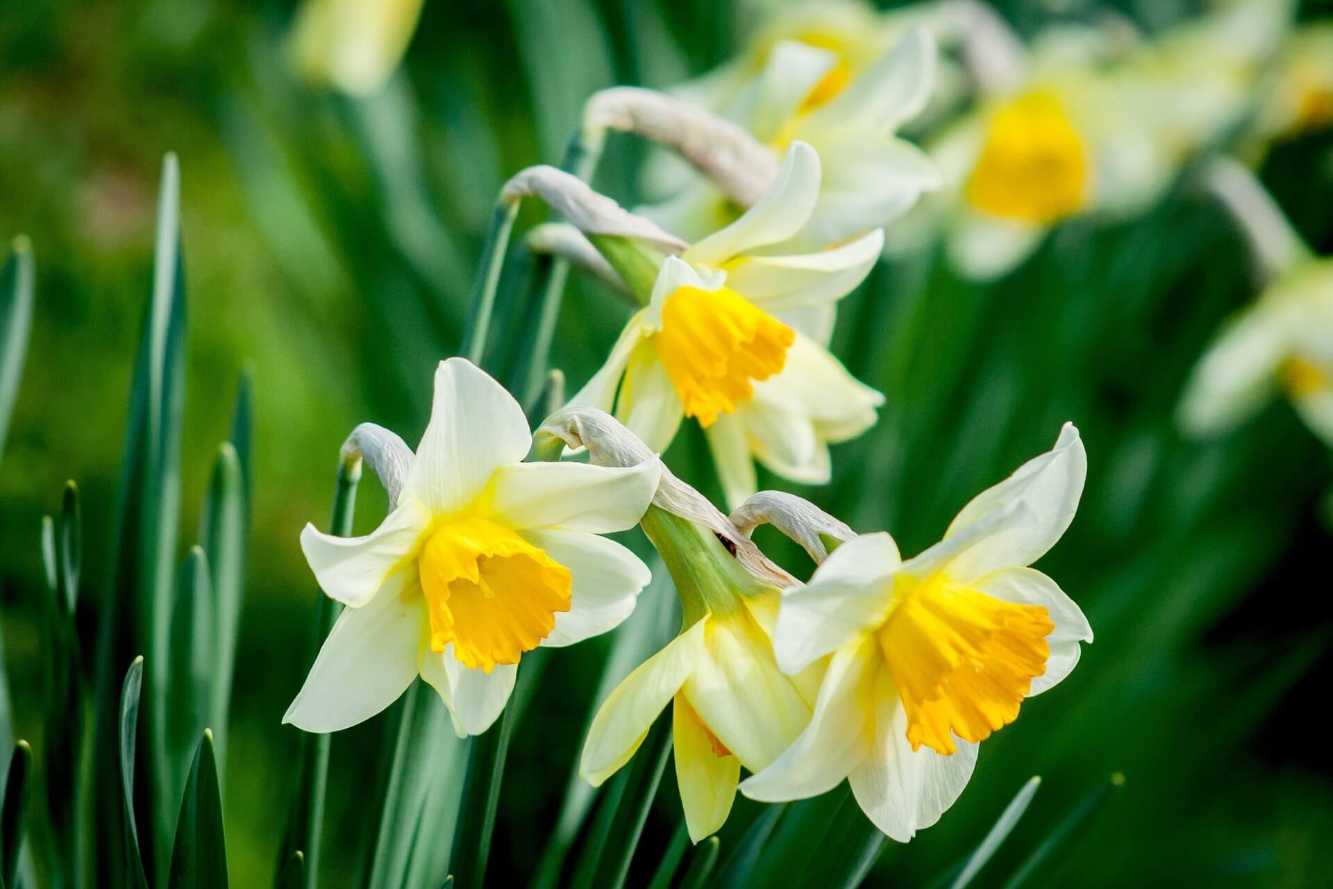 daffodil-1446420_1920