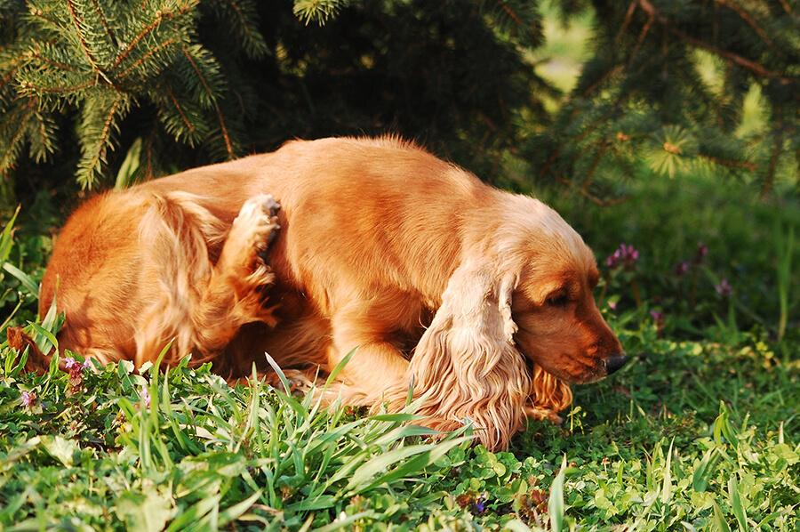 ภูมิแพ้ในสุนัข