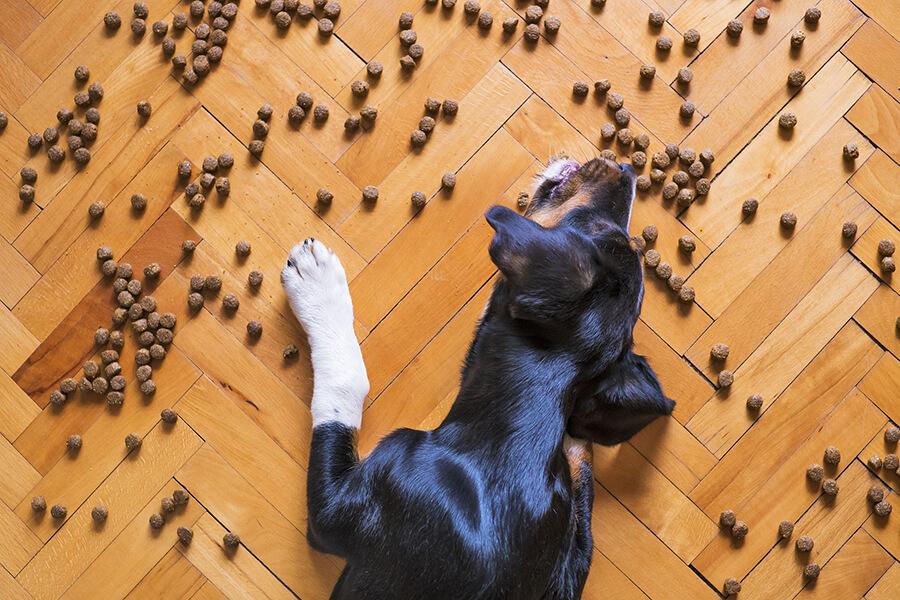 ภูมิแพ้ในสุนัข_แพ้อาหาร
