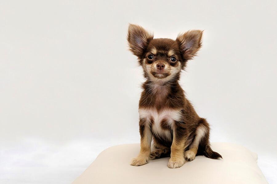 โรคภูมิแพ้ในสุนัข สุนัขพันธุ์เล็ก