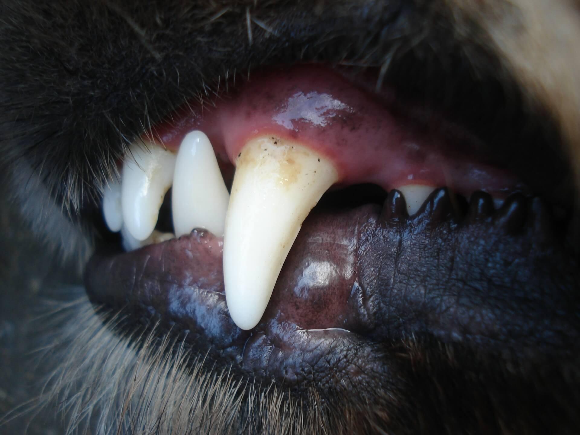 คราบพลัค คราบหินปูนในปากสุนัข