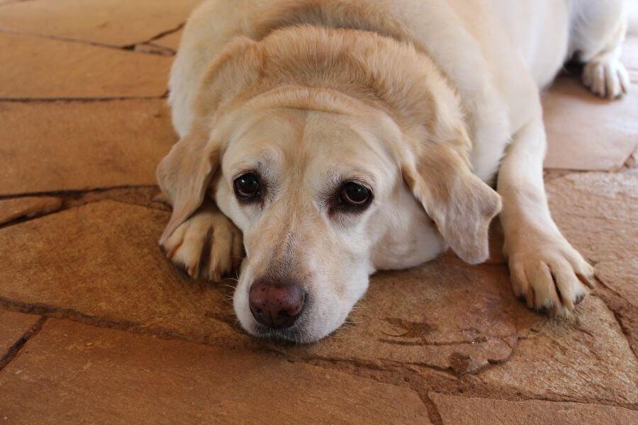 การว่ายน้ำช่วยรักษาโรคกระดูกและโรคอ้วนให้สุนัข